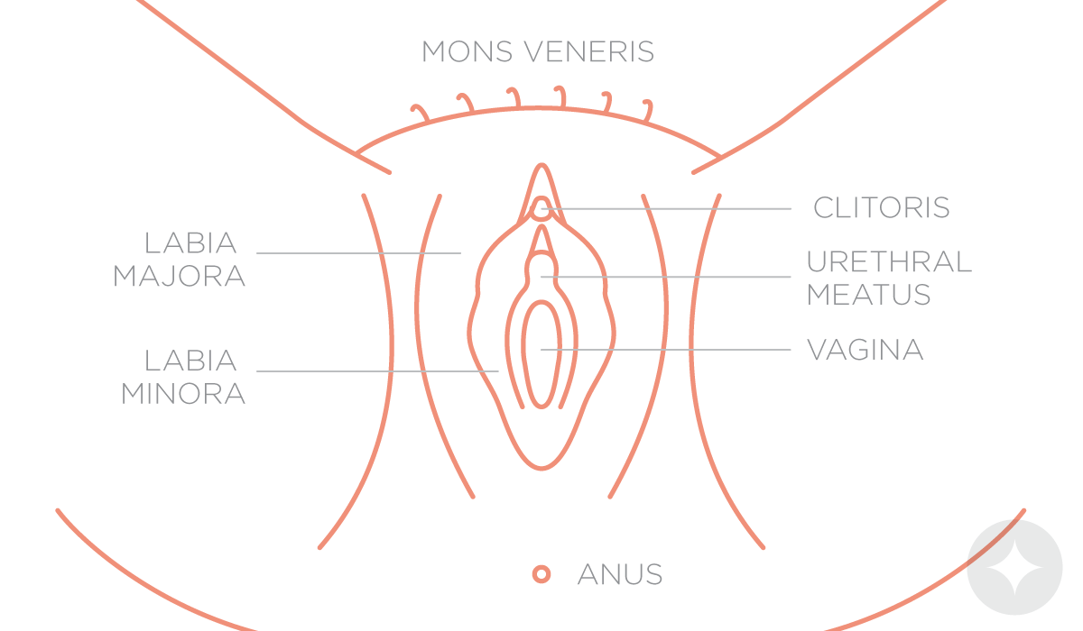 Anatomy of the vulva