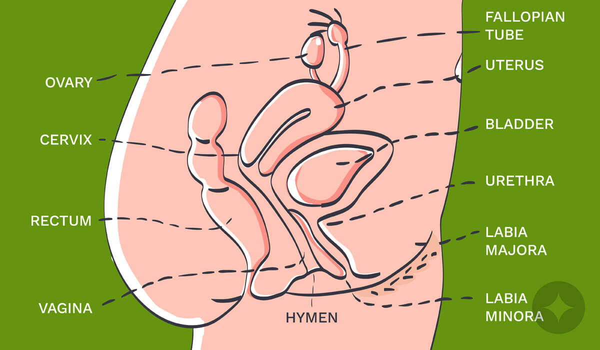 Here's the urethral meatus diagram - important one to learn about the vulva anatomy.